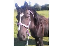 black mare with filly for sale
