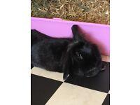Small black rabbit
