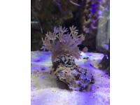 Marine coral- pink pulsing xenia on rock