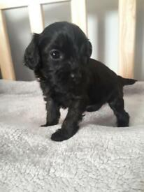 Beautiful cavapoo puppies only one boy left