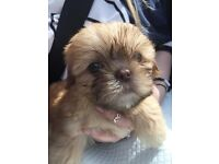 12 week old Shih Tzu Male Puppy For Sale £400 Inc Extras