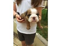 Bulldog Puppies KC Registered,Health Tested HUU Clear.