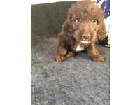 Chocolate Labradoodles for sale  Sunderland, Tyne and Wear