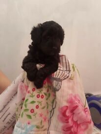 Schnoodle Puppies only 4 left
