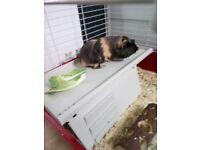 Guinea Pigs male