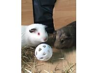 2 guinea pigs with cage and accessories