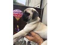 READY FOR NEW HOMES KC REGISTERED PUG PUPPIES FORSALE