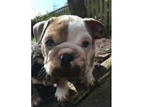 Gorgeous Bulldog Puppies For Sale! Blue, Lilac, Tri
