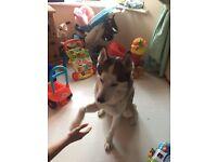 Husky male dog