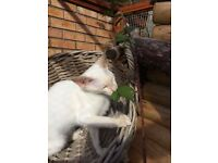 Siamese & Oriental Kittens