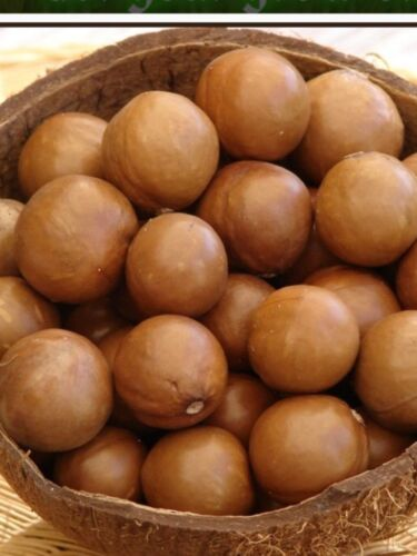 Hawaii Maui Fresh Macadamia Nut 12 Seeds ...