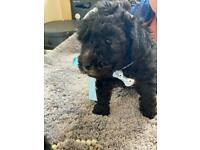 **5star Silver Toy poodle pups**