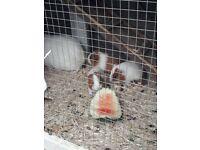 We got 3 babys guinea pigs ready soon