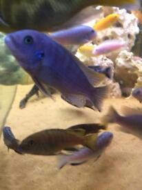 African Malawi Cichlids Fish (blue)