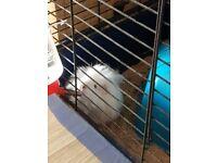 8 week old guinea pig 1 boy, well handled