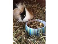 🐾 Guinea Pug Adults 🐾