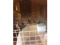 Welshsummer chicks for sale