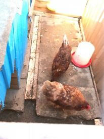 5 laying hens