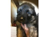 Blue skinned and silver skinned German shephards puppys