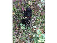 Beautiful Cocker Spaniel Boy (Black) 10mths old