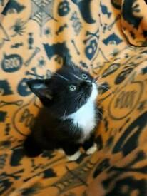 1/2 maincoon male kitten