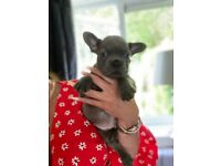 French bulldogs puppy's for sale