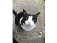 Found large black and white cat