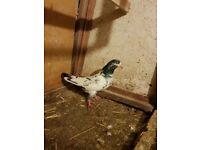 Pigeons for sale pakistani salaray teddy