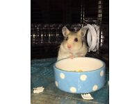 3 month old Syrian Hamster plus accessories
