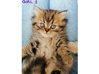 Stunning Chocolate/Silver Tabby Pedigree Persian kittens