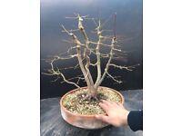 Quality Acer Palmatum Multi Trunk Bonsai