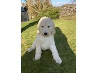 Golden doodle puppy for sale