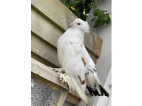 Pigeons for sale fancy ice type pigeons rare and beautiful