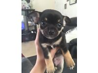 Gorgeous Little Boy Chihuahua for sale !!!