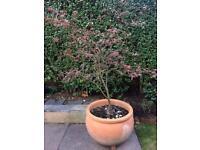 Japanese Maple Tree - Acer