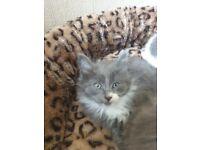 Beautifull long haired russian blue cross kittens