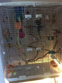 Cockatiel and Budgie with cage