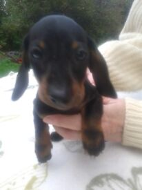 dachshund puppies black and tan smooth haired minature