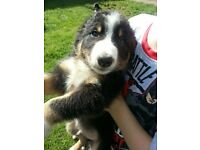 Collie/Sheepdog Pups