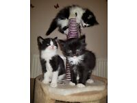 Lovely Kittens for sale ready to go 13th of may