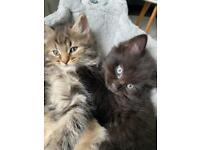Kitten for sale ((SOLD))