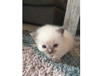 Ragdoll kittens 3 males available