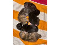 5 beautiful, well handled kittens for sale