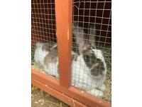 Female Rex rabbit for rehome