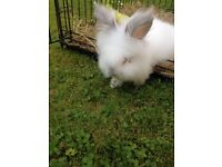 LIONHEAD white bunny rabbit for sale