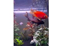 Female Blood parrot cichlid & Catfish