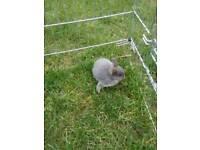 Pure Netherland dwarf bunnies