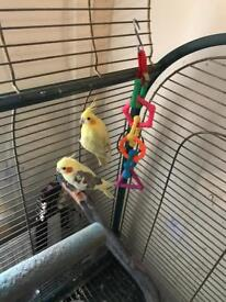Tamed pair of cocktail birds including large cage