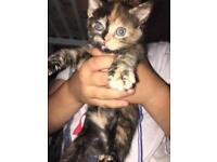 Kittens for sale quarter Persian