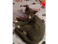 Beautiful blue kitten